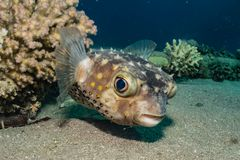 Diodon fish in the Red Sea. Colorful and beautiful, Eilat Israel royalty free stock image