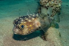 Diodon fish in the Red Sea. Colorful and beautiful, Eilat Israel stock images
