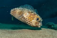 Diodon fish in the Red Sea. Colorful and beautiful, Eilat Israel stock photos