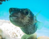 Diodon fish in the Red Sea. Photographed by Avner Efrati stock image