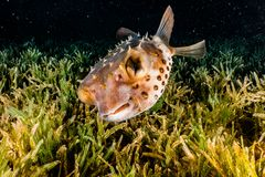Diodon fish in the Red Sea stock photography