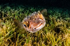 Diodon fish in the Red Sea royalty free stock images