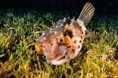Diodon fish in the Red Sea stock image