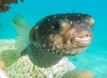 Diodon fish in the Red Sea. Photographed by Avner Efrati royalty free stock photo