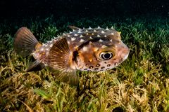 Diodon fish in the Red Sea royalty free stock image