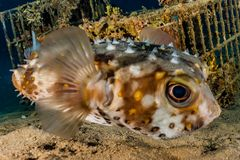 Diodon fish swim in the Red Sea. Colorful fish Eilat Israel royalty free stock images