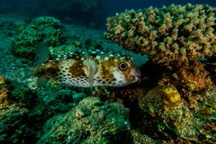 Diodon fish swim in the Red Sea. Colorful fish Eilat Israel stock photography