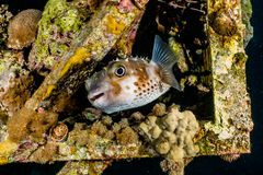 Diodon fish swim in the Red Sea royalty free stock photos