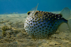 Diodon holocanthus ballfish underwater Royalty Free Stock Photos