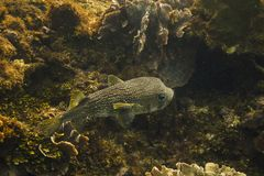 Porcupinefish swimming in a reef Stock Photos