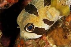 Diodon liturosus - Andaman Sea Stock Image