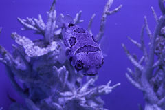 Diodon liturosus in water Royalty Free Stock Images