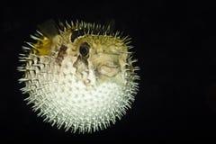 Diodontidae, Porcupinefish of Blowfish Stock Foto's