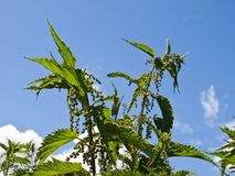 Dioecious nettle Stock Image