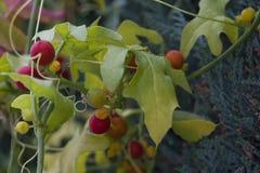 Dioica de Bryonia, connu par le bryony rouge de noms communs et le bryony blanc photos stock