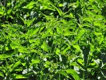 Dioica urtica πράσινων εγκαταστάσεων στοκ εικόνες με δικαίωμα ελεύθερης χρήσης