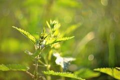 Dioica Urtica в золотом солнечном свете утра Стоковые Фото