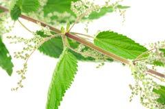 dioica urtica kwiatonośny pokrzywowy parzący Zdjęcia Royalty Free