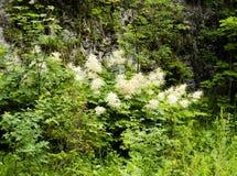Dioicus floreciente de Aruncus del madera-gusano en las montañas Fotografía de archivo