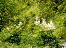 Dioicus floreciente de Aruncus del madera-gusano en las montañas Foto de archivo libre de regalías