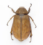 Diomphalia van Holotrichia vermindert Stock Foto's