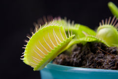Dionaea Royalty Free Stock Photo