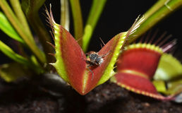 Dionaea carnivorous plant. Carnivorous plant with dead insect corpse Stock Images