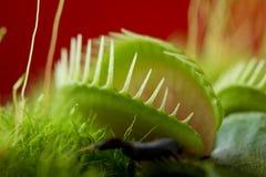 Dionaea del atrapamoscas de Venus Fotografía de archivo