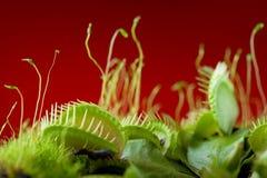 Dionaea del atrapamoscas de Venus fotos de archivo