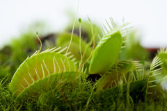 Dionaea do flytrap de Venus Fotos de Stock Royalty Free
