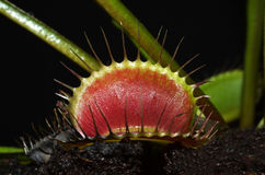 Dionaea leaf Royalty Free Stock Image