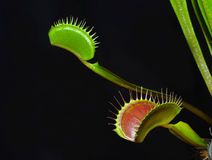 Dionaea leafs. Dionaea plant on the black background Royalty Free Stock Photography
