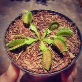 Dionaea Muscipula在巴西 免版税库存图片