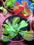 Dionaea muscipula花宏观背景墙纸美术印刷品 免版税库存照片