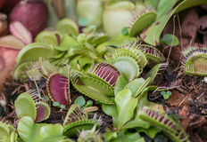 Dionaea muscipula Stockbilder