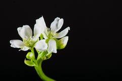 Dionaea muscipula Blüte auf Schwarzabschluß Lizenzfreie Stockbilder