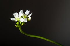 Dionaea muscipula bloom on black. Bloom stem of a dionaea muscipula Stock Photos