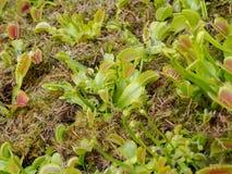 Dionaea muscipula, carnivorous plant Stock Image
