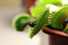Dionaea muscipula cathes eine Fliege Lizenzfreie Stockfotografie