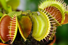 Dionaea muscipula , known as flytrap, in closeup, stock images