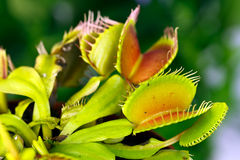 Dionaea muscipula , known as flytrap, in closeup,. Dionaea  , known as flytrap, in closeup, isolated on nature background Royalty Free Stock Images