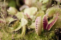Dionaea muscipula Royalty Free Stock Photography
