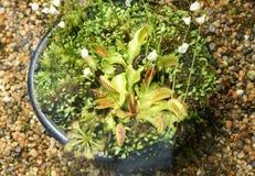 Dionaea muscipula, Venus fly trap Royalty Free Stock Photo