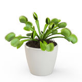 Dionaea muscipula Stock Photo