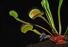 Dionaeaanlage Stockfotografie