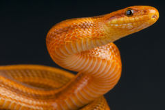 Dione's ratsnake / Elaphe dione Stock Photos