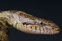Dione's ratsnake / Elaphe dione Royalty Free Stock Images