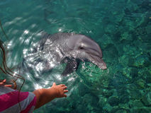 Diophin and girl. Girl pulls a hand to a dolphin Royalty Free Stock Photo