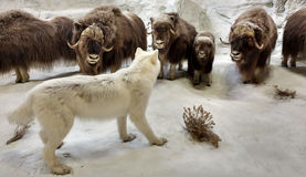 Diorama που χαρακτηρίζει την άγρια φύση σε μια αρκτική σκηνή στοκ εικόνες