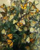 Diorama de las mariposas de monarca Fotos de archivo libres de regalías